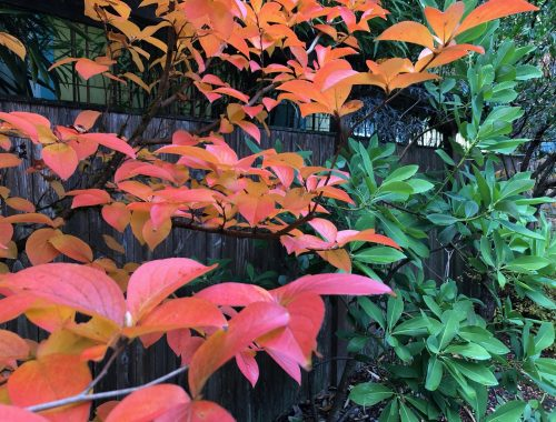 My favorite fall color tree, A New Vine of Ideas Is Ready for November, Karen Hugg, https://karenhugg.com/2020/11/09/vine-of-ideas/ #books #plants #gardening #TV #music #inspiration #environment #writing