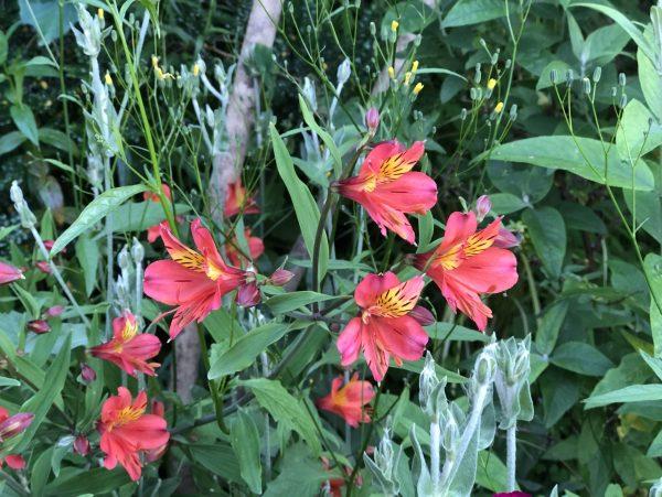 Alstroemeria, Memories of Summer Make Winter Fade For a While, Daily Stress Releaf, Karen Hugg, https://karenhugg.com/2021/02/25/memories-of-summer/ #alstroemeria #plants #dailystressreleaf #perennials #relaxation