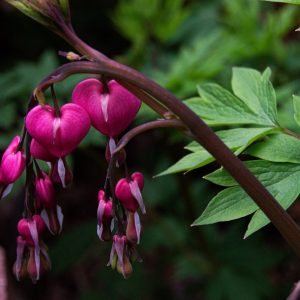 Bleeding Heart Plant, Do Plants Make You Happier? Karen Hugg, https://karenhugg.com/2021/02/12/plants-make-you-happier/ #plants #happiness #plantsandmentalhealth #plantsmakeyouhappier #bleedingheart #gardening #garden #stress #stressrelief