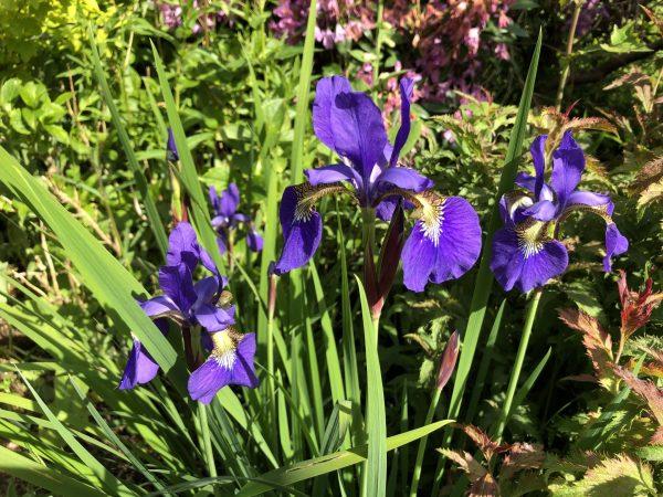 Purple Iris, Memories of Summer Make Winter Fade For a While, Daily Stress Releaf, Karen Hugg, https://karenhugg.com/2021/02/25/memories-of-summer/ #iris #plants #dailystressreleaf #relaxation #perennials #destressing