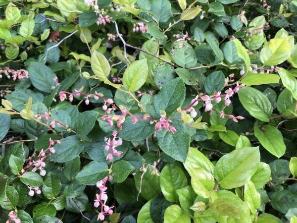 Salal, Memories of Summer Make Winter Fade For a While, Daily Stress Releaf, Karen Hugg, https://karenhugg.com/2021/02/25/memories-of-summer/ #salal #plants #dailystressreleaf #relaxation #perennials #destressing