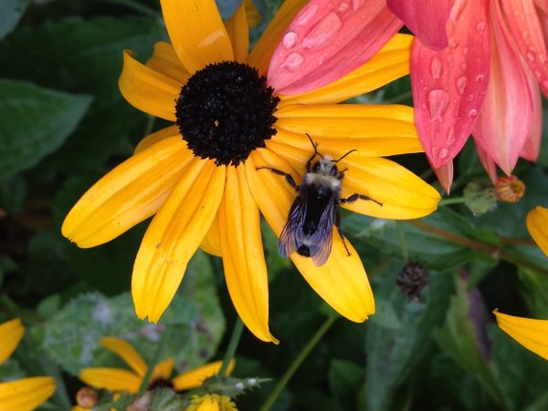 Bee on a Black-eyed Susan, A Bee on a Wildflower Is Wonderful Stress ReLeaf, Daily Stress ReLeaf, Karen Hugg, https://karenhugg.com/2021/03/02/bee on a wildflower/(opens in a new tab), #freewildflowers #wildflowers #bees #dailystressreleaf #spring #plants #gardening #seeds #free
