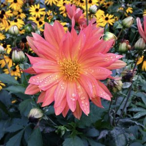 Dahlia, It's Official, Flowers Make People Relax, Daily Stress ReLeaf, Karen Hugg, https://karenhugg.com/2021/03/11/flowers-make-people-relax/(opens in a new tab), #dailystressreleaf, #plants #destressing #stress #relaxation #dahlia #flowers #mentalhealth