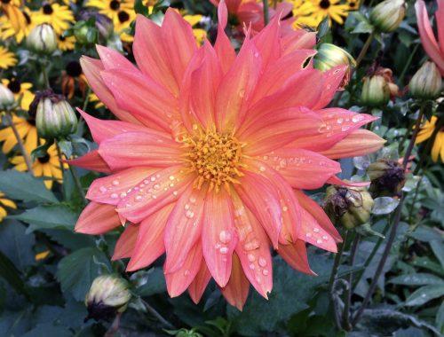 Dahlia, It's Official, Flowers Make People Relax, Daily Stress ReLeaf, Karen Hugg, https://karenhugg.com/2021/03/11/flowers-make-people-relax/(opens in a new tab), #dailystressreleaf, #plants #destressing #stress #relaxation #dahlia #flowers #mentalhealth