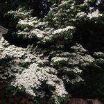Kousa Dogwood, Three Wonderful but Small Deciduous Trees to Remember Lost Loved Ones, Daily Stress ReLeaf, Karen Hugg, https://karenhugg.com/2021/03/12/deciduous-trees-to-remember/(opens in a new tab), #deciduoustrees #remember #memorial #covid #trees #plants #dailystressreleaf #mentalhealth