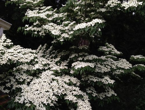 Kousa Dogwood, Three Wonderful but Small Deciduous Trees to Remember Lost Loved Ones, Daily Stress ReLeaf, Karen Hugg, https://karenhugg.com/2021/03/12/deciduous-trees-to-remember/(opens in a new tab), #deciduoustrees #remember #memorial #covid #trees #plants #dailystressreleaf #mentalhealth