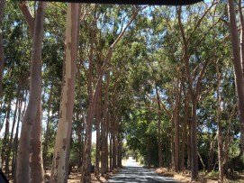 One variety of the 700 eucalyptus species in OZ.