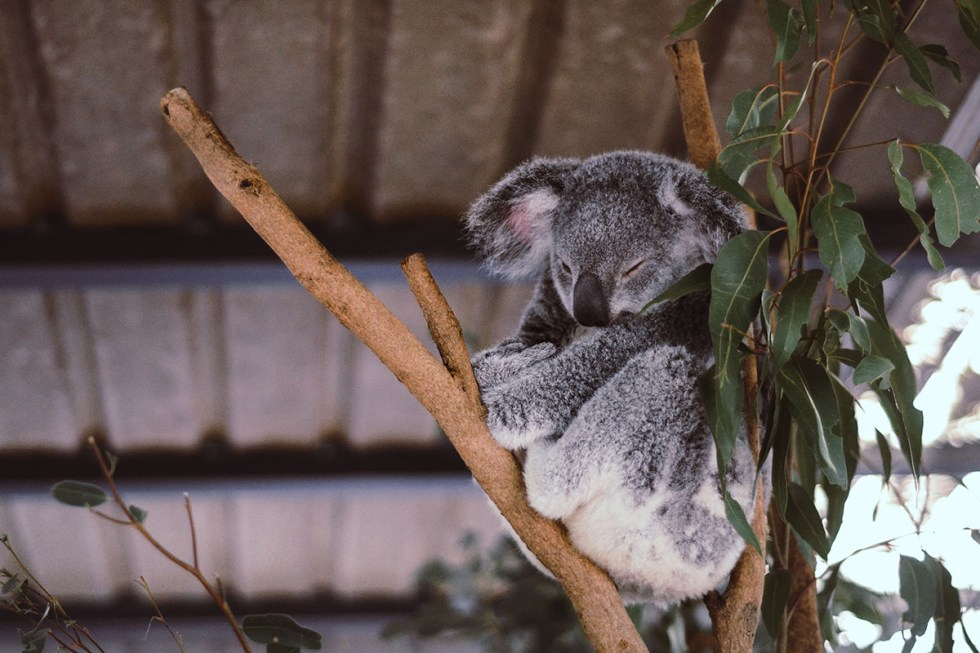 australia-;one-pine-koala-sanctuary