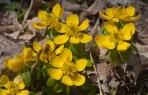 Blooming aconite3