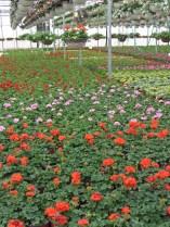 greenhouse flowers2