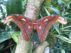 Atlas Moth-newly emerged © 2013 Karen A Johnson