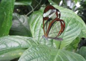 Glass wing butterfly © 2013 Karen A Johnson