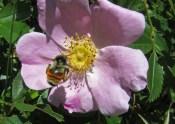 Orange striped bumble bee