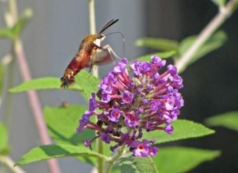 Hummingbird clearwing © 2013 Karen A Johnson