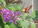 Hummingbird clearwing and bee © 2013 Karen A Johnson