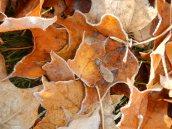 Frosty leaves 2 © 2013 Karen A Johnson