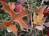 Frosty leaves 7 © 2013 Karen A Johnson