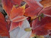 Frosty leaves 9 © 2013 Karen A Johnson