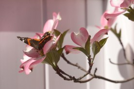 Red Admiral on Dogwood © 2012 Karen A Johnson