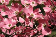 Pink Flowering Dogwood © 2012 Karen A Johnson