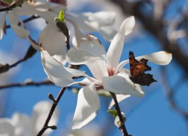 Magnolia and Comma © 2014 Karen A Johnson