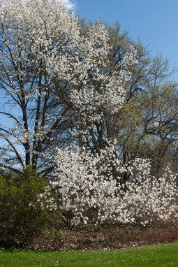Magnolia tree © 2014 Karen A Johnson