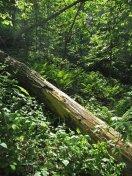 Backlit ferns and log © 2014 Karen A Johnson