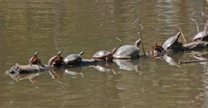 Basking turtles © 2014 Karen A Johnson