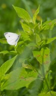 Cabbage white butterfly © 2014 Karen A. Johnson