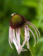 Coneflower and bee © 2014 Karen A. Johnson