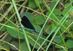 Blackwing damselfly © 2014 Karen A. Johnson