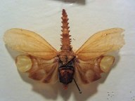 Weird saw-headed homopteran © 2014 Karen A. Johnson