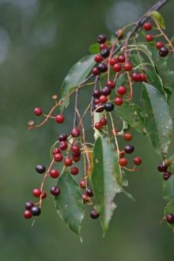 Wild Cherries © 2014 Karen A. Johnson