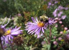 Aster with bumblebee © 2014 Karen A. Johnson