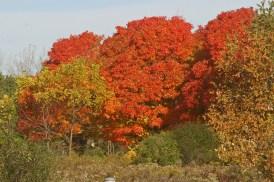 Maple trees © 2014 Karen A. Johnson