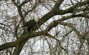 Eagle squawking © 2015 Karen A. Johnson