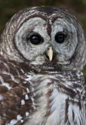 Barred owl-head shot © 2015 Karen A. Johnson