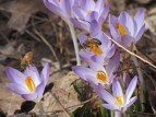 Crocus and honey bees © 2015 Karen A. Johnson