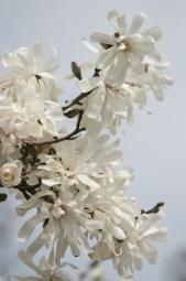 White on white-magnolia © 2015 Karen A. Johnson