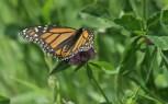 Monarch © 2015 Karen A. Johnson