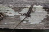 Brown Anole © 2015 Karen A. Johnson