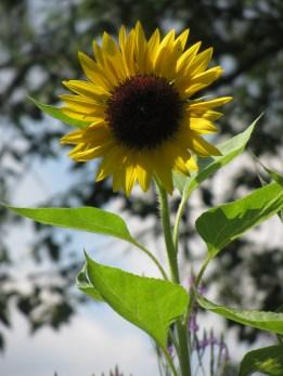 Sunflower © 2015 Karen A. Johnson