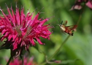 Hummingbird moth 4 © 2015 Karen A. Johnson