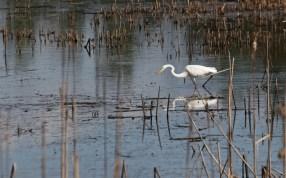 Egret stalking © 2015 Karen A. Johnson