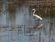 Egret stalking 2 © 2015 Karen A. Johnson
