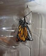 Emerging monarch 1 © 2015 Karen A. Johnson