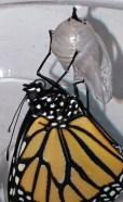 Emerging monarch close-up © 2015 Karen A. Johnson