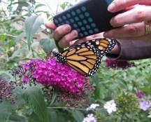 Released monarch © 2015 Karen A. Johnson