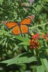 Flying monarch 3 © 2015 Karen A. Johnson