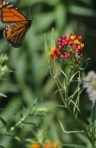 Flying monarch 4 © 2015 Karen A. Johnson